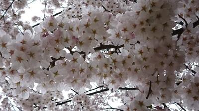 2020桜1.JPG